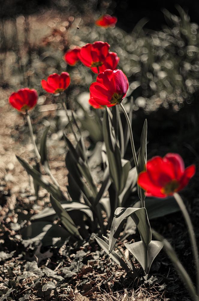 finally, tulips!